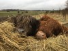 Airfield Highland cattle